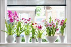Como hacer te de platano par dar nutrientes a nuestras plantas y flores. Banana tea for plants and flowers.