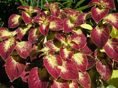 Coleus 'Dipt in Wine', summer annual, partial sun, shade Design Build Firms, Building Design, Landscape Architecture, Landscape Design, Chicago Landscape, Professional Landscaping, Lawn Maintenance, Landscape Services, Exotic Places