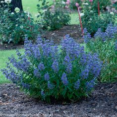 Beyond Midnight Bluebeard - Landscape Layering: Perennial Shrubs