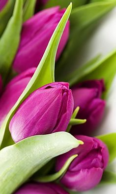 Download 480x800 «Purple tulips» Cell Phone Wallpaper. Category: Flowers Purple Tulips, Tulips Flowers, Exotic Flowers, Amazing Flowers, My Flower, Beautiful Roses, Daffodils, Spring Flowers, Beautiful Gardens