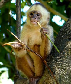 The white-fronted capuchin (Cebus albifrons) is New World monkey that can be found in seven South American countries. Primates, Mammals, Santa Marta, New World Monkey, Ape Monkey, Amazon Rainforest, Baboon, Fauna, Spirit Animal