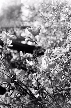 Proud Flower 35mm black and white film print by KJsFilmPhotography, $15.00