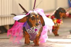 Princess Dachshund