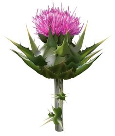 Milk thistle gives the liver cleansing support.