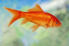 Types of Goldfish [Slideshow]