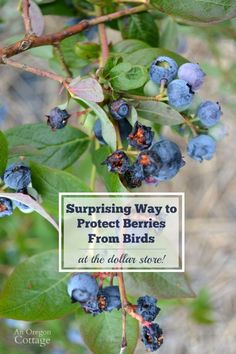Garden Design For Kids How to scare birds away from your garden using items from the dollar store!Garden Design For Kids How to scare birds away from your garden using items from the dollar store! Blueberry Tree, Blueberry Bushes, Fruit Bushes, Fruit Trees, Dollar Items, Dollar Stores, Keep Birds Away, Garden Pests, Garden Insects