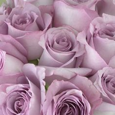 lavender roses... mom  grew some like this that  were called Sterling Silver