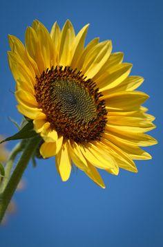 Nice Sunflower Photo