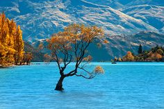 Solitude,  Lake Wanaka, New Zealand  (The lake was so appealing, even the tree decided to go for a dip). :0)