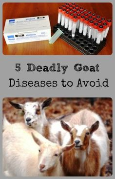 #goatvet recommends annual herd tests for chronic diseases such as CAE and Johne's disease and in USA these are the diseases commonly tested for.  #Goats