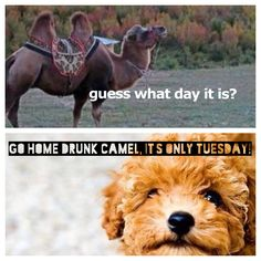It's not quite hump day yet, camel....