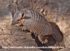 veterinaria - animal - Mendoza: Leyenda sobre el quirquincho Armadillo, Flora, Mendoza, Patagonia, Cactus, Google, Animals, Wild Animals, Beast