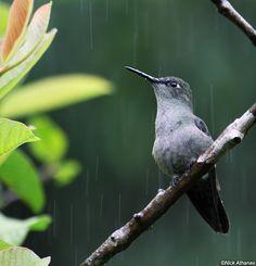 Sombre Hummingbird - Aphantochroa cirrochloris