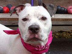 TO BE DESTROYED Manhattan Center  11/19/13  SPICY  A0984483   FEMALE WHITE / BLACK  PIT BULL 2 yrs  STRAY ~ Spicy is friendly & welcoming in her kennel. Good leash manners, pulls slightly at times, likely house trained, meets other dogs without fuss. Sits & stays on command, loves treats. Initially shy & timid, quickly warms up.  Playful, easy to handle, did well meeting helper dog! A loving home is what she needs to open. Brighten your life with a new friend.