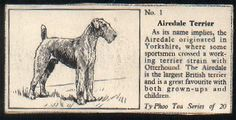 """Airedale Terrier  card from England. These cards titled """"Some Popular Breeds of Dogs"""" are from the Ty-Phoo Tea Series of 20, issued in 1955. They were printed on the Ty-Phoo tea box and had to be cut out for saving by collectors, therefore, there is no printing on the back of the card. Airedale Terrier Card 9 (Ty-Phoo Tea, 1955)"""
