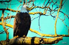 Bald Eagle in Parkersburg, West Virginia by Bill Sargent