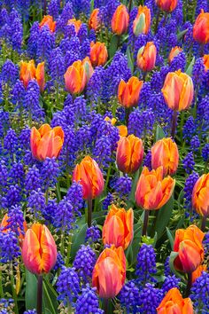 ✯ Blue Hyacinth And Tulips I sure will be winter planting my bulbs I have dug up and dried. I will plant under my lilac bushes for a splash of colour for the next spring.