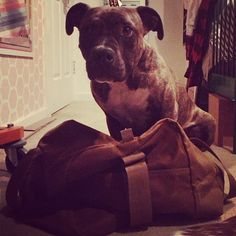 Duffle Dog  #brownbag #sad #dog #in #duffle #bag #packing #mom #on #vacation #cute #bridle #pibble #gal #boxer #pitbull #mix #rescue