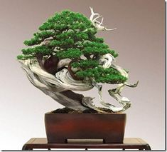 15 Most Awesome Bonsai Trees On Earth Helpful Home Improvement
