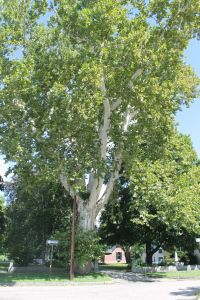 Giant Sycamore at least 200 years old.  Concord NH.  LightningRod Photography