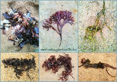 Cooking for Health: How to forage for edible seaweed. A simple guide to foraging for seaweed or sea vegetables, such as kelp, laver, dulse, nori, wakame, kombu, for use in cooking. Please visit my website at www.cookingforhealth.biz and sign up for my newsletter by clicking here: http://eepurl.com/w5Blv