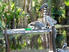 Madagascar, Lemurs native to country