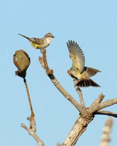 Chapada Flycatcher (Suiriri affinis)