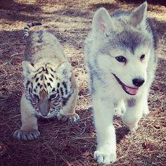 Baby Husky and Tiger. :)헬로카지노 yogi14.com 헬로바카라 헬로카지노헬로카지노 헬로바카라헬로바카라 헬로카지노 헬로바카라