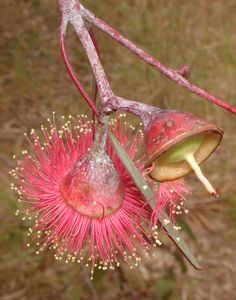 Eucalyptus caesia ssp. magna Australian Wildflowers, Australian Native Flowers, Australian Plants, Unique Flowers, Exotic Flowers, Amazing Flowers, Beautiful Flowers, Unusual Plants, Cool Plants