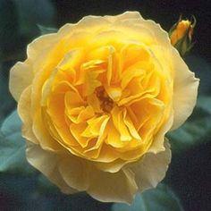 'Graham Thomas' English Rose