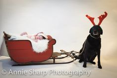 Newborn Christmas Shoot with Sleigh and Adorable Dog