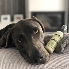 Mascosana Spain (@mascosanaspain) • Instagram-Fotos und -Videos Weimaraner, Labrador Retriever, Pitbulls, Spain, Videos, Dogs, Animals, Instagram, Labrador Retrievers