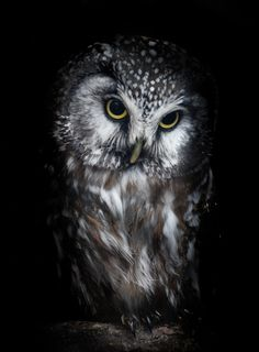 "Owl: ""That Certain Look..."""