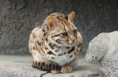 Leopard Cat. Via Kuribo/Wikipedia
