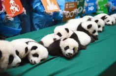 中国四川省のパンダ保護研究センターでお披露目された、今年生まれたパンダの赤ちゃん=24日(共同)