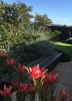 Native plants.Love the contrast of Leucadendron against the grey foliage of Eucalypts and teucrium. Garden design by RPGD www.rpgardendesign.com.au Nativity, Garden Design, Contrast, Greek, Native Gardens, Native Plants, Beautiful, The Nativity, Landscape Designs