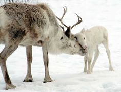 same animal, different regions.a hoofed animal found in polar regions in northern Europe, Siberia, and North America.measure 64 to 84 inches long.both sexes sport antlers measuring 39 to 53 inches Large Animals, Animals And Pets, Baby Animals, Cute Animals, Lappland, Nordic Christmas, Modern Christmas, Young Animal, Animal Totems