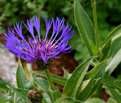 Vuorikaunokki - Centaurea montana