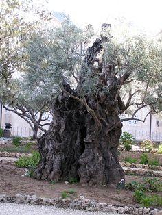 Garden of Gethsemane - Ancient Olive Tree