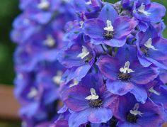 Dark Blue, Blue And White, Delphiniums, Growing Gardens, Palmiers, Plants, Flowers, Buxus, Deep Blue