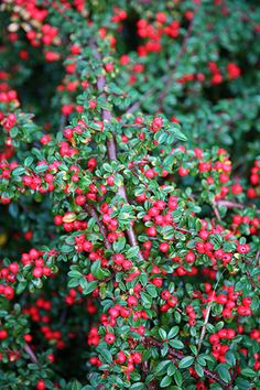 Buy coral beauty cotoneaster Cotoneaster × suecicus 'Coral Beauty': Delivery by Crocus Planting Shrubs, Garden Shrubs, Landscaping Plants, Planting Flowers, Winter Plants, Winter Garden, Trees And Shrubs, Trees To Plant, Gardens