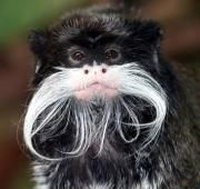 The Emperor tamarin is a small species of monkey found in the forests of South America. The Emperor tamarin was named because of it's elegant white moustache, which is thought to resemble that of German emperor Wilhelm II.