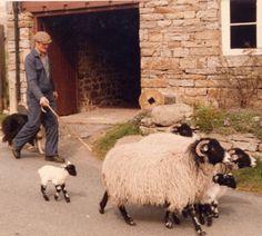 Swaledale Sheep - Google Search