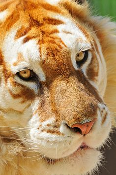 Close-up of the golden tiger, it's an extremely rare color variation caused by a recessive gene that is currently only found in captive tigers.