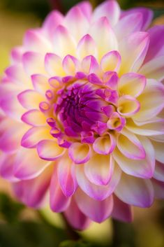 Dahlias! This is such a pretty picture, one day I'm going to do a close up photo shoot with flowers