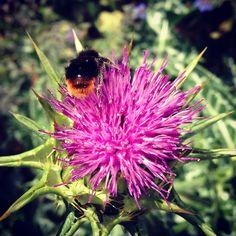 Pollen covered bee on an artichoke flower