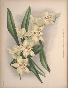 v. 10-11 1895-96 - Lindenia : - Biodiversity Heritage Library