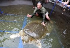 This enormous weighs 440 pounds. Unfortunately, there are only four red river giant softshell turtles left, all of which live in captivity. The animal is considered sacred by many Vietnamese.