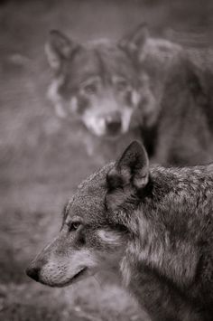 . Wolf World, Wolf Eyes, Wolf Husky, Wolf Pictures, Wolf Photos, Wolf Stuff, Howl At The Moon, Pet Dogs, Pets