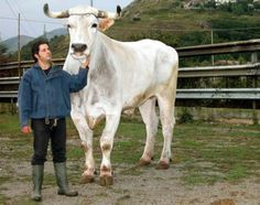 chianina largest breed of cattle and one of the